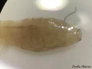 Abdomen d'une larve – notez l'anneau de crochets