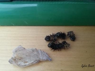 Cocon et exuvies des chenilles retrouvés au sous-sol
