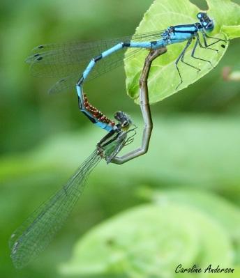 Voyez-vous les nombreuses mites accrochées à l'abdomen du mâle?