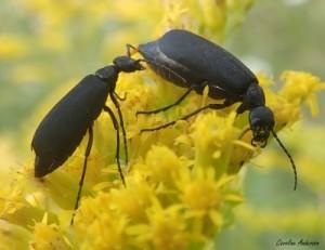 Même les méloés mâles usent de préliminaires pour séduire Mesdames! Ici un couple de méloés noirs (Epicauta pensylvanica).