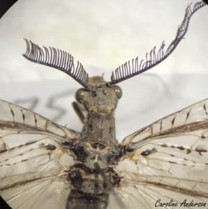 La tête de ce chauliode (C. rastricornis) est ornée d'ocelles