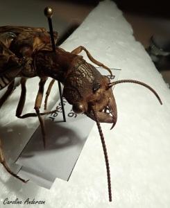 Cette corydale cornue femelle possède aussi des ocelles (entre les antennes)… et de larges mandibules!