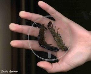 Deux larves de Corydalidae par rapport à ma main