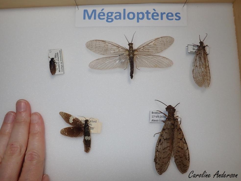 Différents mégaloptères québécois (gracieuseté Cégep de Sherbrooke, par le biais de Sylvie Norman). Rangée du haut (gauche à droite) : Sialis sp., Chauliodes pectinicornis, Chauliodes rastricornis. Rangée du bas : Nigronia sp., Cordydalus cornutus.