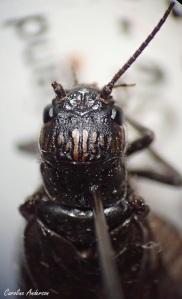 Aucun ocelle présent sur la tête de ce Sialidae adulte (Sialis sp.)