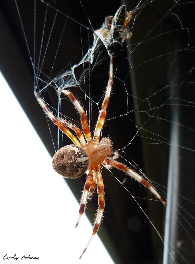 La guêpe tient férocement une patte de l'araignée
