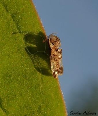 Les ailes translucides laissent passer la lumière du soleil!
