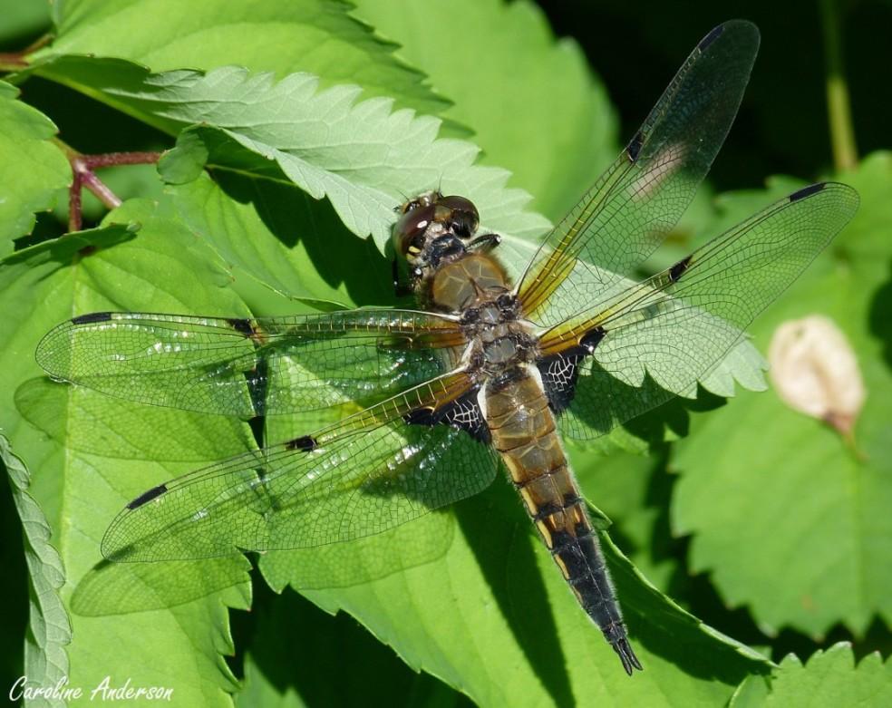 Les libellules se perchaient à de multiples endroits : végétation aquatique, végétation terrestre (vue ici) ou encore directement au sol