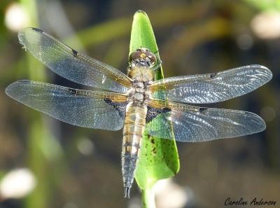 La libellule à quatre taches – vue dorsale