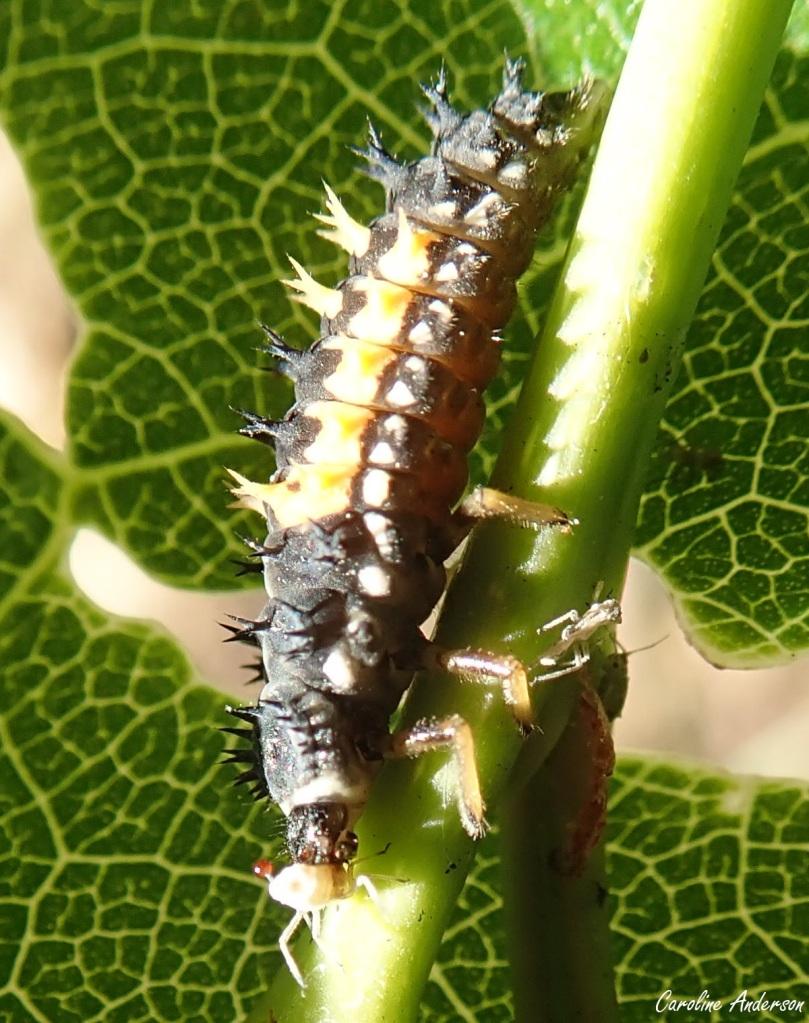 La larve captura le puceron en un clin d'œil