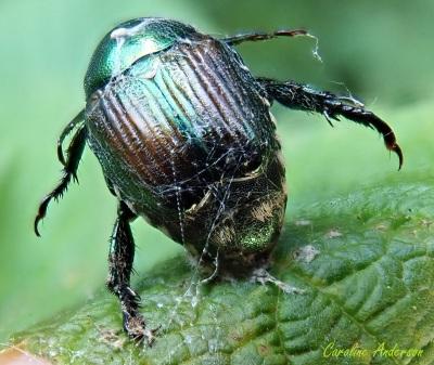 Le coléoptère parasité était agglutiné à la feuille, immobile