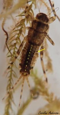 On peut compter à rebours (du bout de l'abdomen vers le thorax) le nombre de segments de l'abdomen, puis vérifier où se situent les branchies pour s'aider dans l'identification de ce groupe