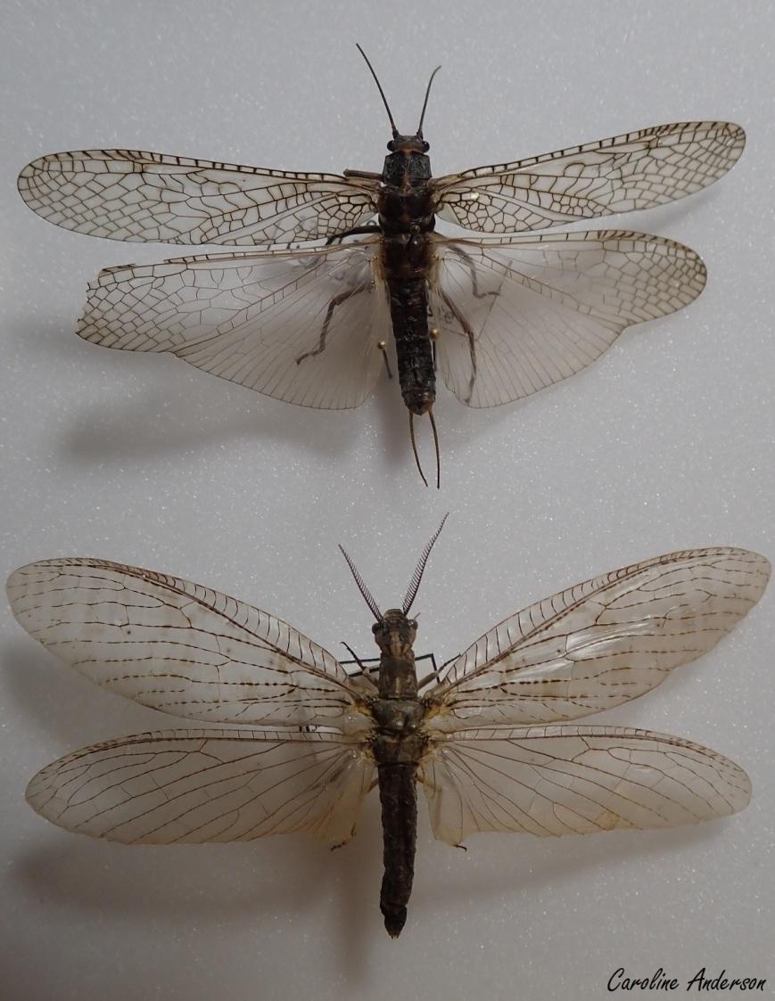 Plécoptère (genre Pteronarcys) en haut, mégaloptère (chauliode parchemin) en bas