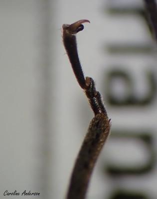 Tarse du plécoptère