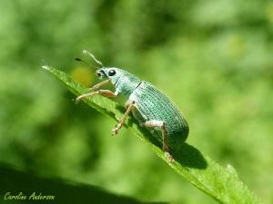 Curculionidae_fin