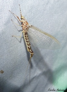 Ephemeridae1