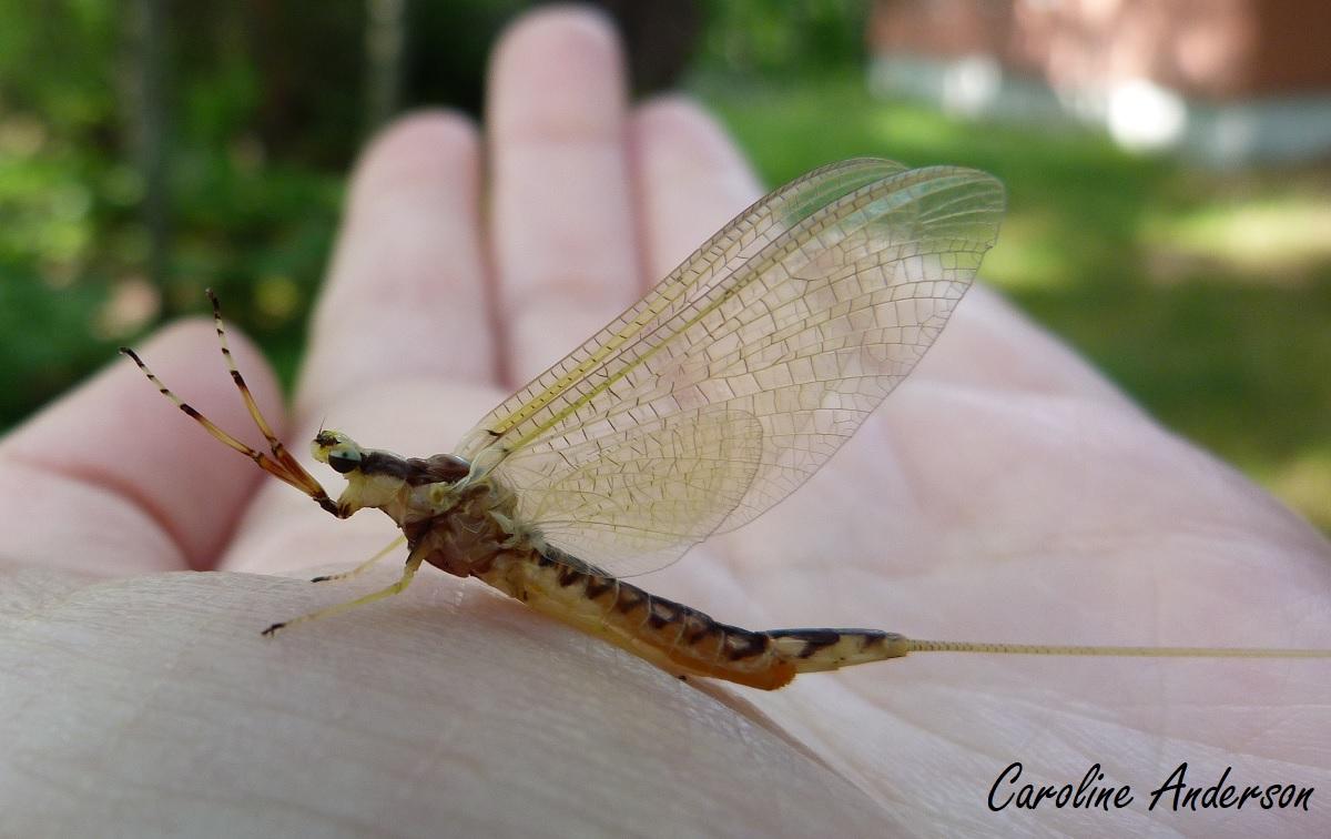 Ephemeridae2
