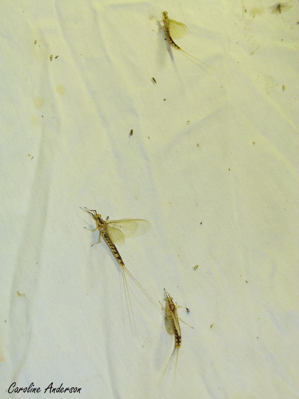 Ephemeridae3