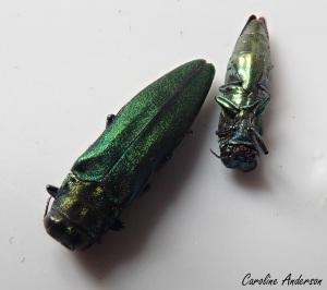 Buprestidae_Aplanipennis
