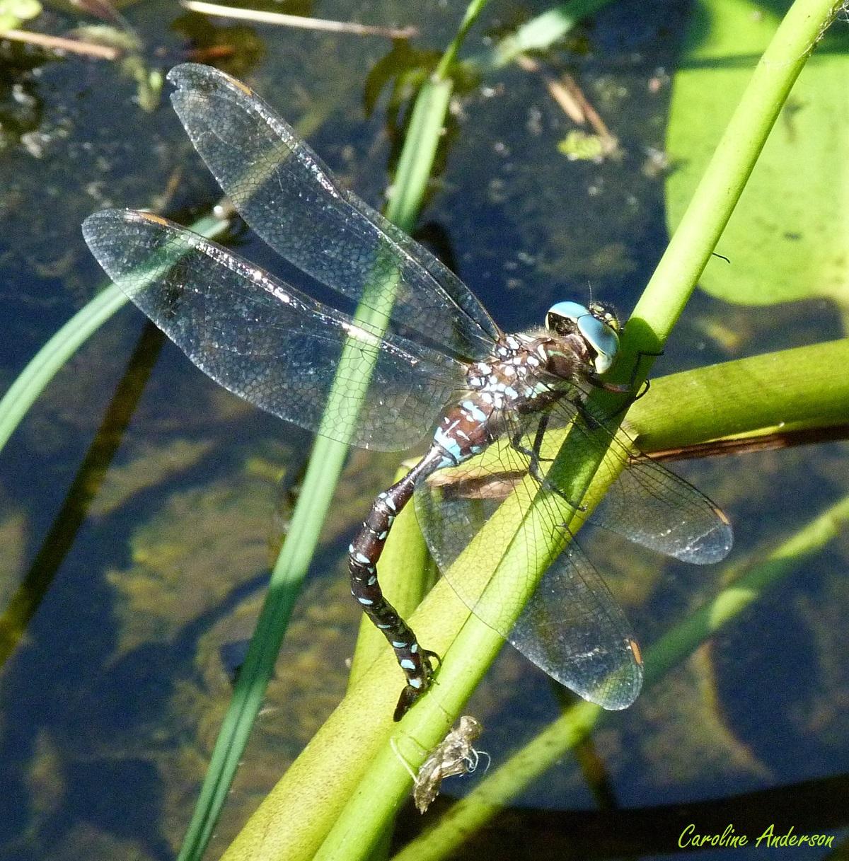 Aeshnidae_Aumbrosa_Ponte1